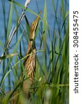 Small photo of American Bittern hiding in the cattails.