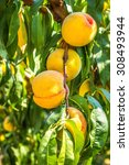 ripe sweet peach growing on a... | Shutterstock . vector #308493944