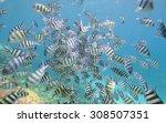 Small photo of Shoal of sergeant major damselfish Abudefduf saxatilis on a tropical coral reef