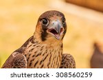 Young Hawk Or Falcon Ready For...