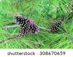 Pine Cones On A Tree Branch