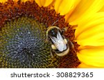 Bumblebee On A Sunflower In...