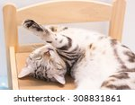 american short haired cat sleepy | Shutterstock . vector #308831861