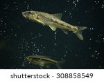Small photo of Gudgeon (Gobio gobio) and spirlin (Alburnoides bipunctatus). Wildlife animal.