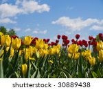 Yellow And Red Tulips On A...