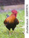 Colorful free range rooster showing its profile. - stock photo