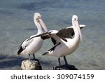 Two Pelicans At Seashore In...