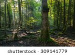 natural deciduous stand of... | Shutterstock . vector #309141779