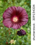 Purple Flower Of Hollyhock...