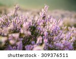 detail of a flowering heather... | Shutterstock . vector #309376511