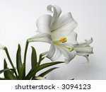 This is a very detailed closeup of an Easter Lilly on a neutral background. - stock photo