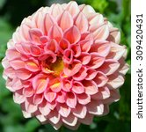 Dahlia Is A Genus Of Bushy ...