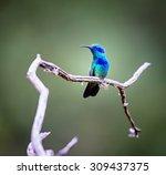green violet eared hummingbird... | Shutterstock . vector #309437375