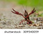 a red swamp crawfish ...   Shutterstock . vector #309540059