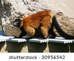 red ruffed lemur - stock photo