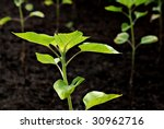 New sunflower plants emerging in the garden soil.   Macro with extremely shallow dof. - stock photo