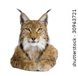 Eurasian Lynx   Lynx Lynx  5...