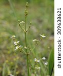 Small photo of Common Water-plantain - Alisma plantago-aquatica���  Marsh Plant