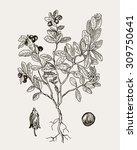 detailed botanical illustration ... | Shutterstock .eps vector #309750641