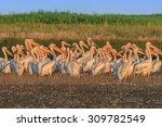 white pelicans in the danube... | Shutterstock . vector #309782549