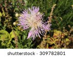 "Small photo of Cream colored ""American Basketflower"" (or American Starthistle) in Munich, Germany. Its scientific name is Centaurea Americana, native to USA and Mexico."