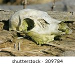 A Deer Skull Found In The Wood...