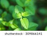 mint bush in the garden   Shutterstock . vector #309866141