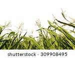 Corn Growing On Field On White...