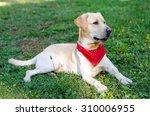 a labrador retriever in the park   Shutterstock . vector #310006955