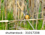 kingfisher  alcedo atthis  | Shutterstock . vector #31017208