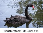 The Black Swan Floats In A Pond
