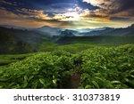 sun shining over tea garden | Shutterstock . vector #310373819