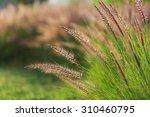 grass spikelet on the field at... | Shutterstock . vector #310460795