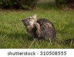 Tabby Kitten Lying On The Lawn...