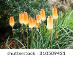 Kniphofia Triangularis  Dwarf...