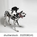 Stock photo black and white dog dalmatian and cat 310538141
