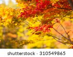 Autumn Yellow And Red Maple...