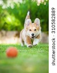 Pembroke Welsh Corgi Puppy...
