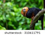 Lion Tamarin Down A Tree