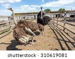 Curious African Ostrich Walkin...
