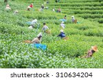 agriculture was picking tea in... | Shutterstock . vector #310634204