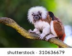 Cotton Top Tamarin In A Tree I...