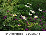 White daisies in garden with ferns and purple flowers in the background.  Close-up with shallow dof.  Selective focus on closest daisy. - stock photo