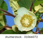 close up of a kiwifruit female... | Shutterstock . vector #31066072
