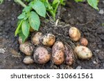 Potato Field Vegetable With...