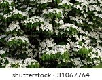 Nature background of Kousa dogwood tree in full bloom. - stock photo