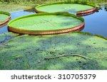 victoria lotus leaves | Shutterstock . vector #310705379
