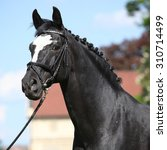 Small photo of Nice black dutch warmblood standing with bridle