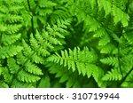 Great Green Bush Of Fern In Th...