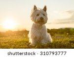 a west highland white terrier a ... | Shutterstock . vector #310793777